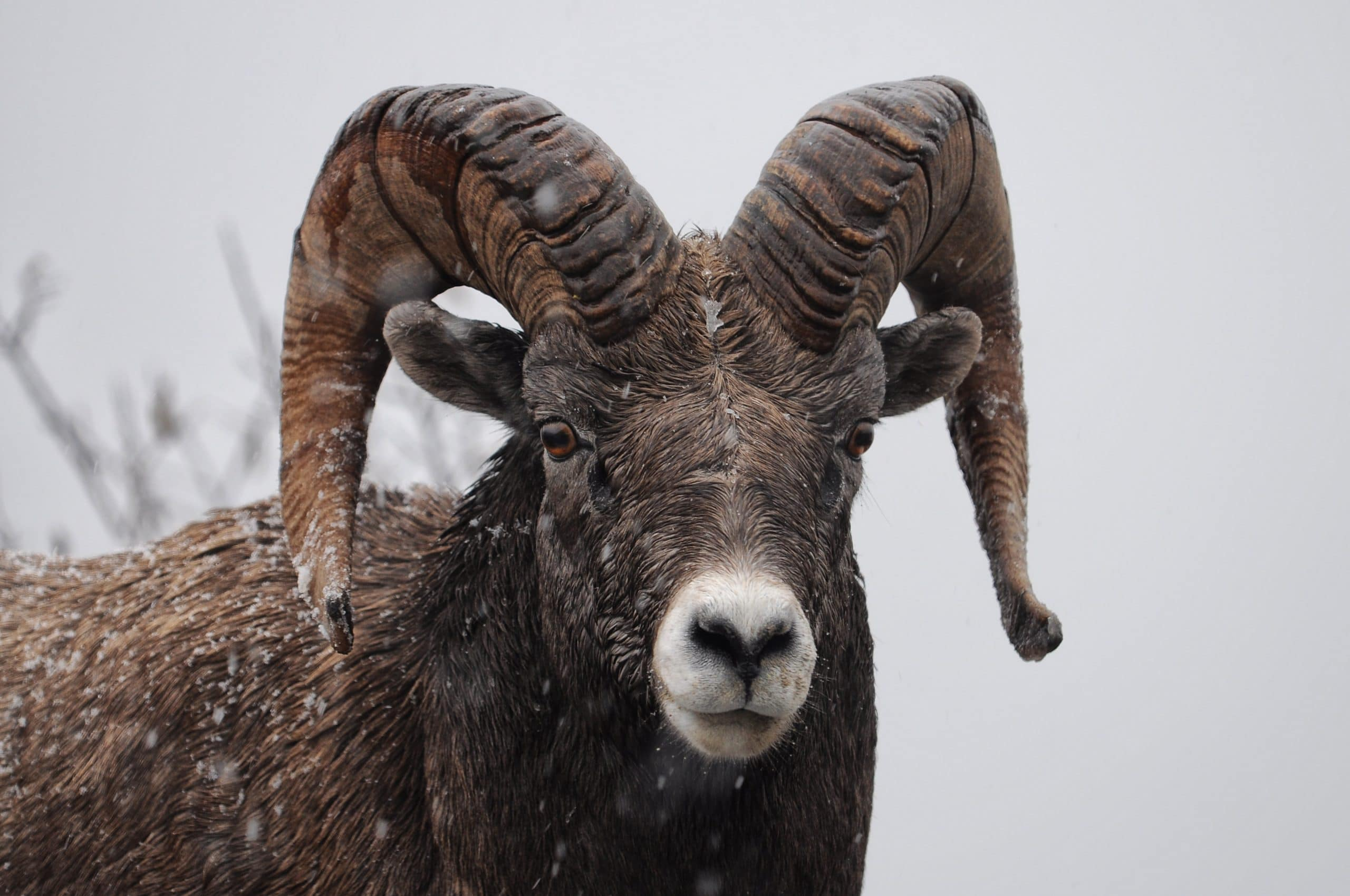 Ram in de Winter