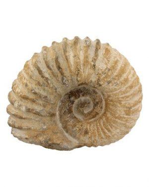 Fossiel Ammoniet Tractorwiel (Klein)